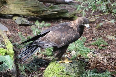 aquila reale: Aquila @ Northwest Trek Wildlife Park  Archivio Fotografico
