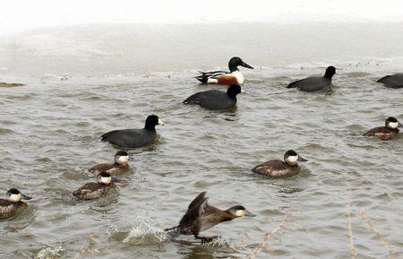 lower klamath: Ducks @ Lower Klamath National Wildlife Refuge Stock Photo
