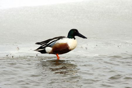 r Duck @ Lower Klamath National Wildlife Refuge