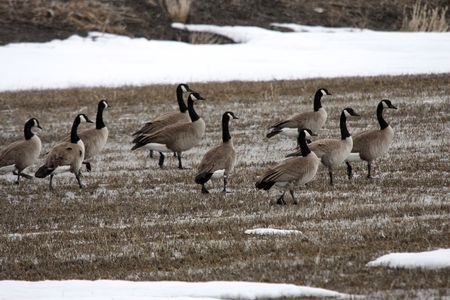 klamath: Canada Goose @ Lower Klamath National Wildlife Refuge Stock Photo