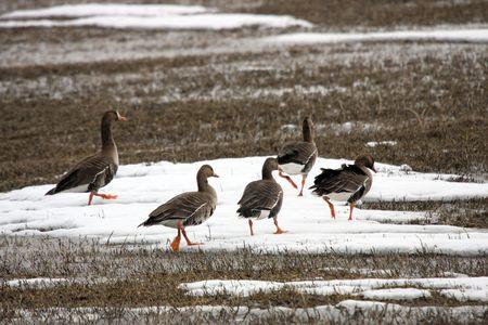 White Fronted Goose @ Lower Klamath National Wildlife Refuge Stock Photo - 7573704