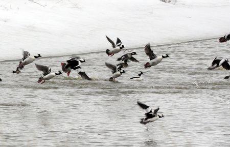 Ducks @ Lower Klamath National Wildlife Refuge photo