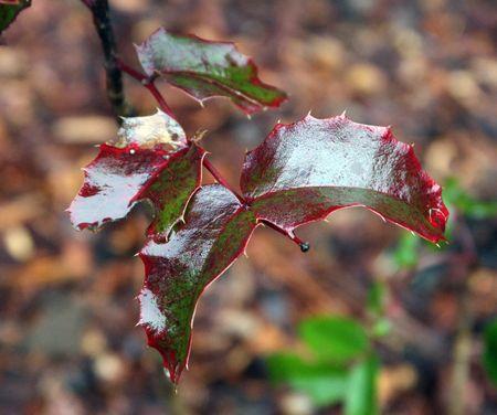 Rain on the Holly
