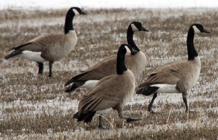 Canada Goose @ Lower Klamath National Wildlife Refuge Stock Photo - 7573717