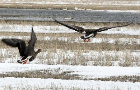 White Fronted Goose @ Lower Klamath National Wildlife Refuge Stock Photo