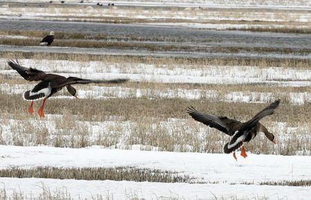 White Fronted Goose @ Lower Klamath National Wildlife Refuge Stock Photo - 7573720