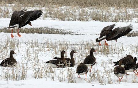 White Fronted Goose @ Lower Klamath National Wildlife Refuge photo