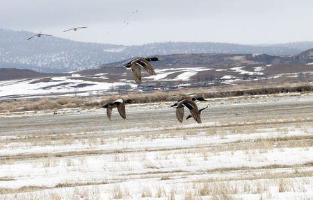 Ducks in Flight @ Lower Klamath National Wildlife Refuge photo