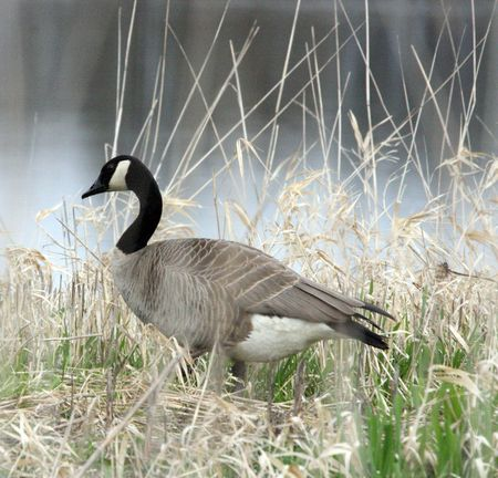 Canada Goose @ Ridgefield National Wildlife Refuge photo