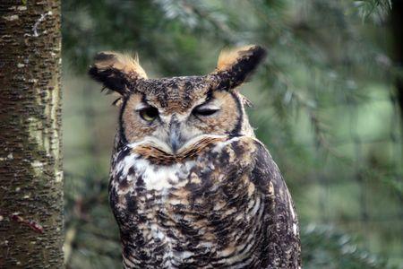Great Horned Owl @ Northwest Trek Wildlife Park Stock Photo