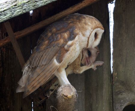 Barn Owl @ Northwest Trek Wildlife Park