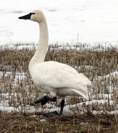 Tundra Swan @ Lower Klamath Wildlife Refuge, CA Stock Photo