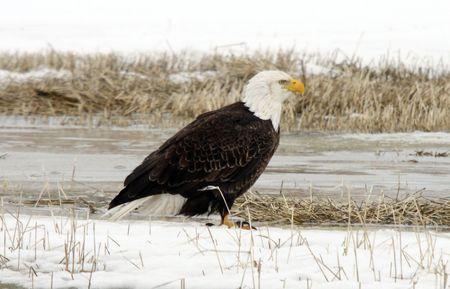 lower klamath: Bald Eagle @ Lower Klamath National Wildlife Refuge