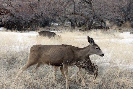 Mule Deer @ Lower Klamath National Wildlife Refuge