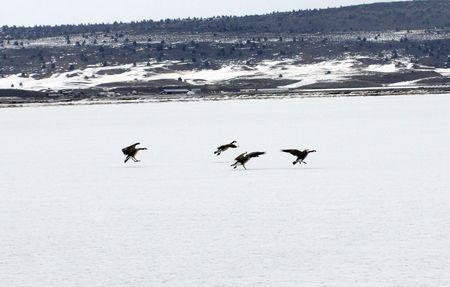 lower klamath: Canada Goose @ Lower Klamath National Wildlife Refuge Stock Photo