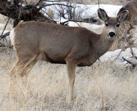 klamath: Mule Deer @ Lower Klamath National Wildlife Refuge