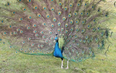 Peacock Showing Colors