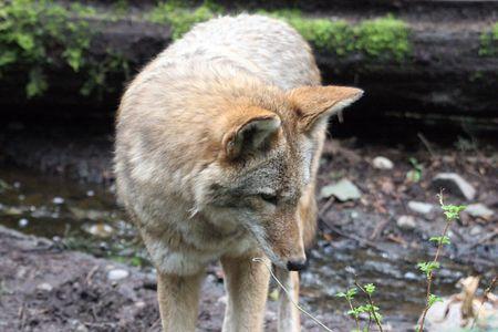 Coyote @ Northwest Trek Wildlife Park Stock Photo - 7616650