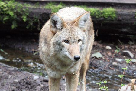 Coyote @ Northwest Trek Wildlife Park Stock Photo - 7616651