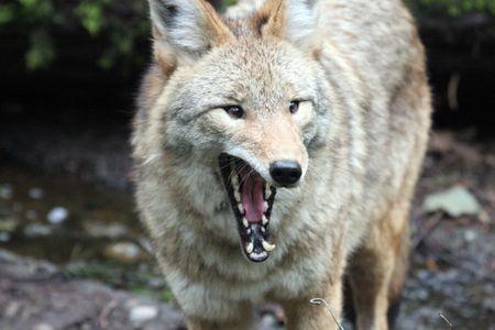 Coyote @ Northwest Trek Wildlife Park Stock Photo - 7616647