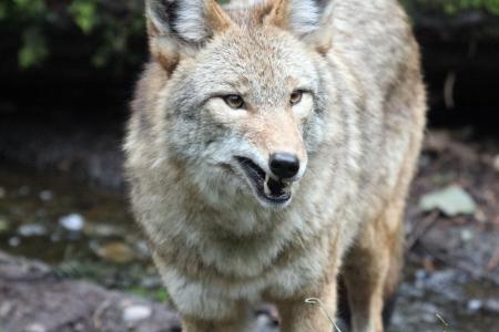 Coyote @ Northwest Trek Wildlife Park Stock Photo - 7616648