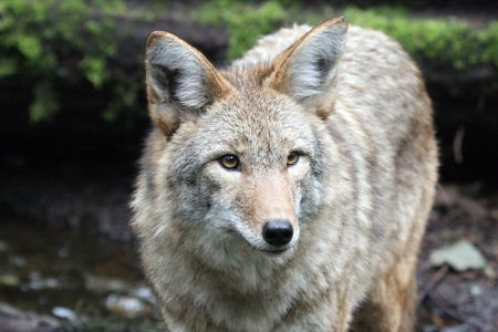 Coyote @ Northwest Trek Wildlife Park Stock Photo - 7616653