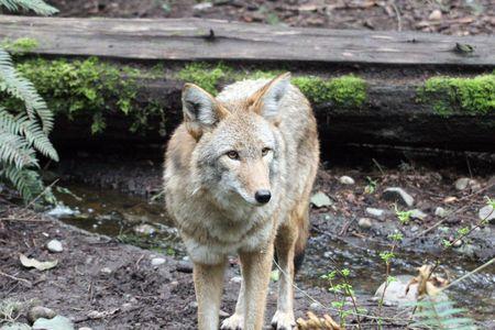 Coyote @ Northwest Trek Wildlife Park Stock Photo - 7616655