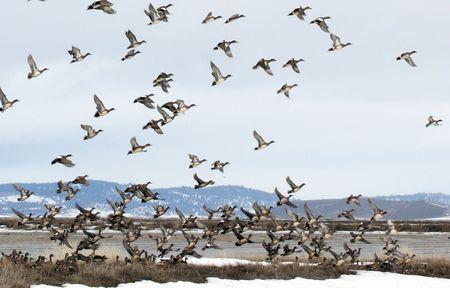 American Wigeon Duck @ Lower Klamath National Wildlife Refuge, CA photo