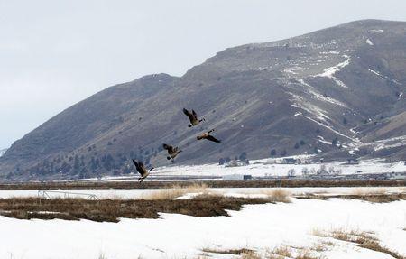 Canada Goose @ Lower Klamath National Wildlife Refuge photo