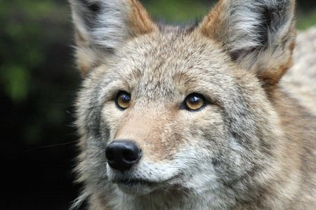 northwest: Coyote @ Northwest Trek Wildlife Park