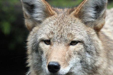 Coyote @ Northwest Trek Wildlife Park photo