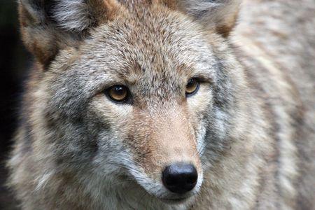 Coyote @ Northwest Trek Wildlife Park