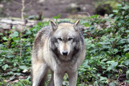 Grey Wolf @ Northwest Trek Wildlife Park, WA. Stock Photo - 7616689