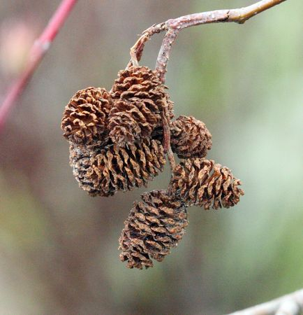 Small Pinecones in a Bunch