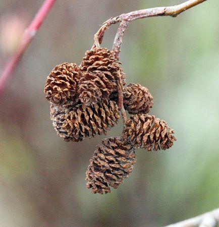 pinecones: Small Pinecones in a Bunch
