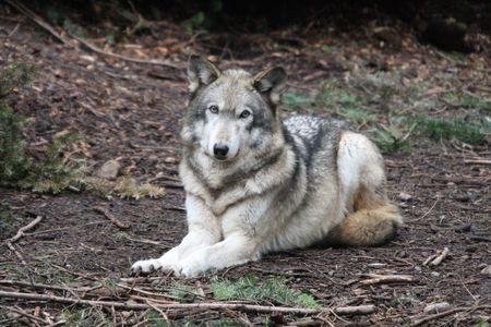 Grey Wolf @ Northwest Trek Wildlife Park, WA. photo