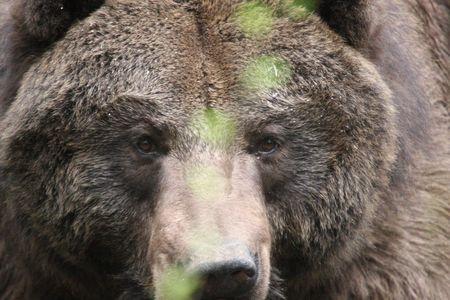 Grizzly Bear @ Northwest Trek Wildlife Park Stock Photo