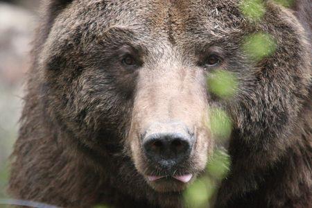 Grizzly Bear @ Northwest Trek Wildlife Park photo