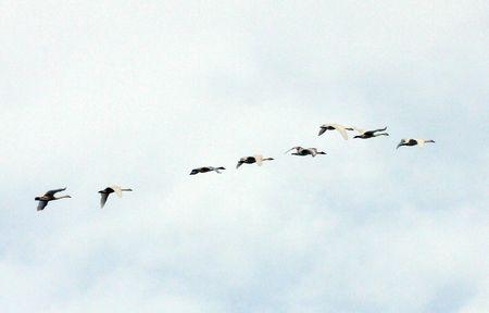 Tundra Swan @ Lower Klamath Wildlife Refuge, CA photo