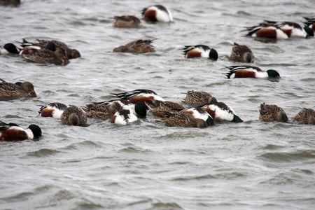 Northern Shoveler Flock Feeding @ Lower Klamath National Wildlife Refuge Stock Photo - 7690109