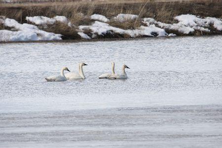 tundra swan: Tundra Swan @ Lower Klamath Wildlife Refuge, CA