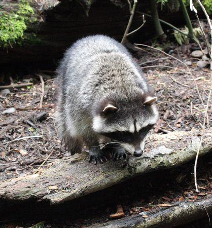 Raccoon @ Northwest Trek Wildlife Park Stock Photo - 7690089