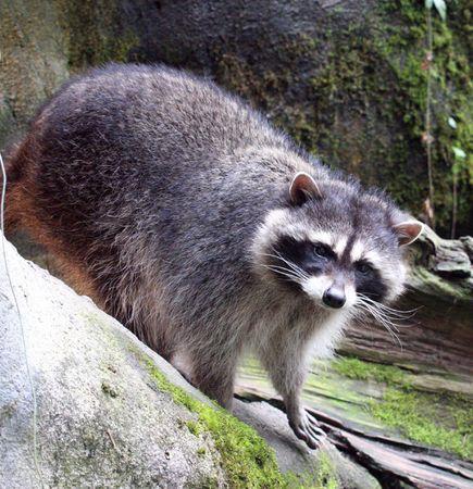 Raccoon @ Northwest Trek Wildlife Park Stock Photo - 7690108