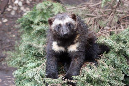 Wolverine Kit @ Northwest Trek Wildlife Park