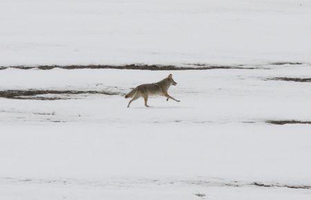 lower klamath: Coyote @ Lower Klamath Wildlife Refuge