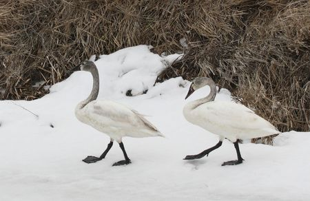 Tundra Swan @ Lower Klamath Wildlife Refuge, CA Stock Photo - 7690205
