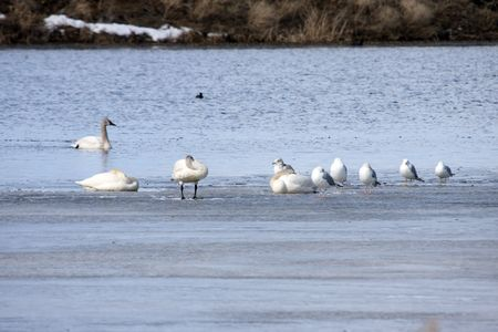 Tundra Swan @ Lower Klamath Wildlife Refuge, CA Stock Photo - 7690230