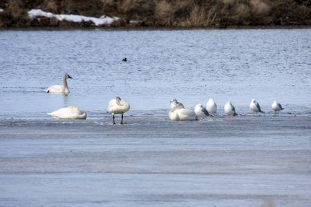 Tundra Swan @ Lower Klamath Wildlife Refuge, CA Stock Photo - 7690230