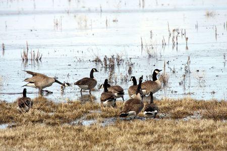 Canada Goose @ Lower Klamath National Wildlife Refuge Stock Photo - 7690250