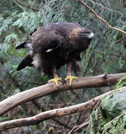 golden eagle: Steinadler @ Northwest Trek Wildlife Park